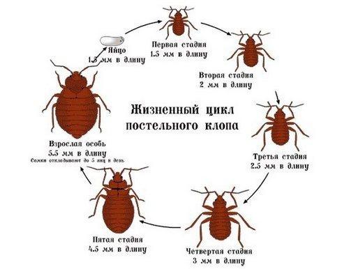 klopy_v_kvartire_kak_izbavit_sya_vyvesti_i_unichtozhit_ih-1