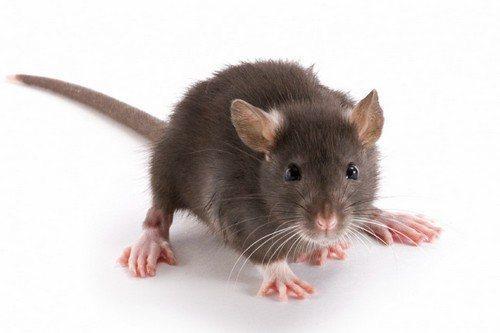 Опасность мышей в доме