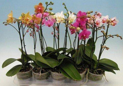 Чем и как подкармливать орхидею в домашних условиях во время цветения, после цветения и в период покоя