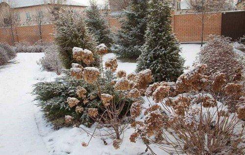 Как укрыть гортензию древовидную на зиму