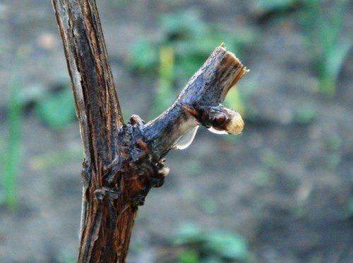 Правила и схема обрезки винограда осенью для начинающих