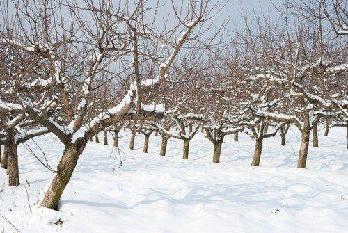 Обрезка деревьев зимой, обрезка плодовых деревьев (сроки, схема)   видео для начинающих