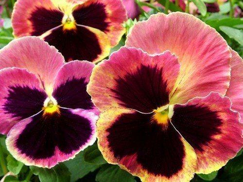 виола посев семян на рассаду хитрости выращивания