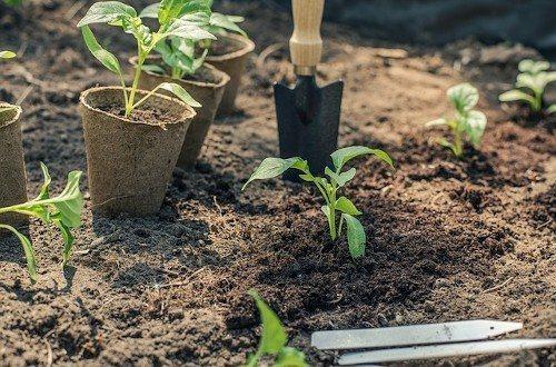 Высадка рассады в почву
