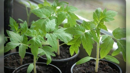 Подкормка и удобрение рассады