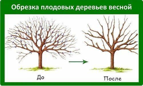 Яблоня до и после обрезки