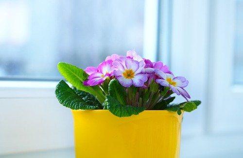 рассада примулы выращивание в домашних условиях