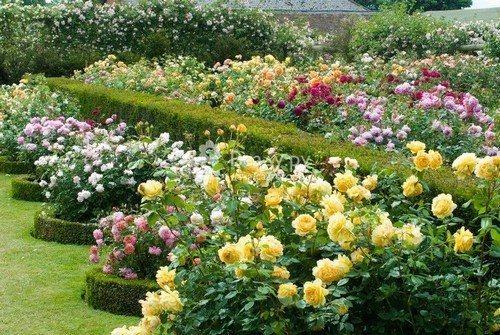 Розы для цветника