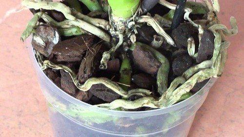 Лечение корней