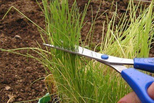 Ошибки выращивания лука