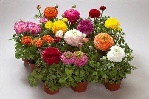 Цветы ранункулюса