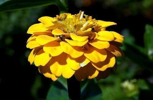 Желтая циния