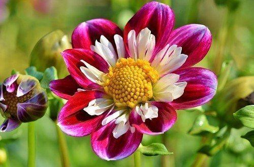 Цветок цинии