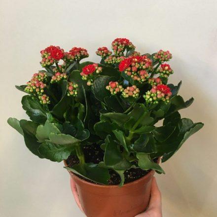 каланхое blossfelsiana