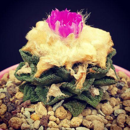 кактус ариокарпус