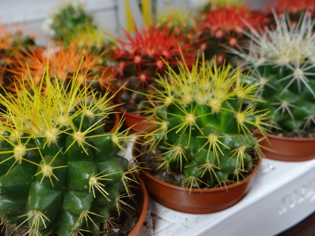 кактус с цветными колючками