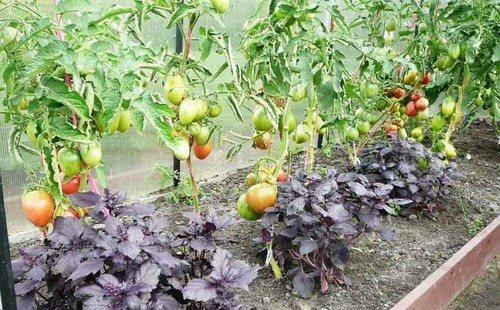 Базилик и томаты