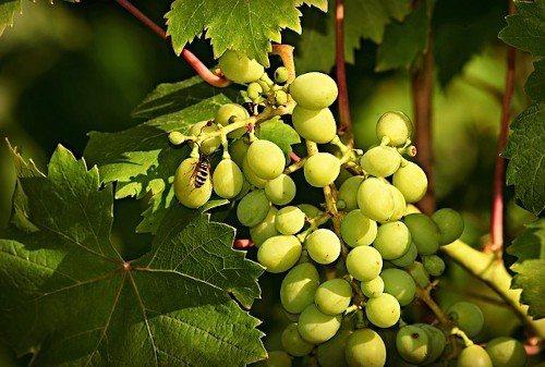 Сроки подкормки винограда