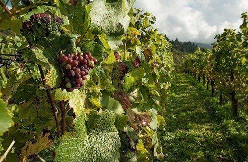 Органические удобрения для винограда