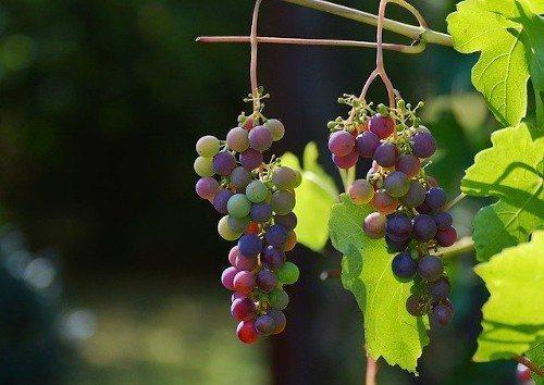 Дрожжи ждя винограда