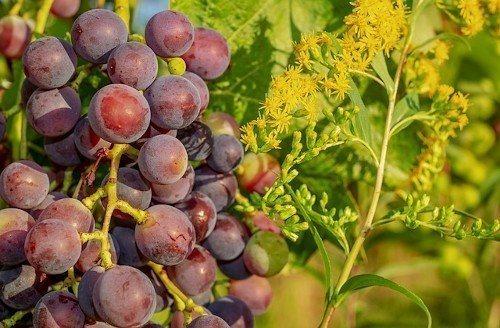 Подкормка виноградных кустов