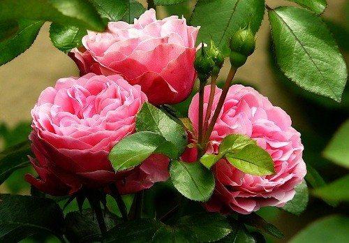 Чем подкормить розы