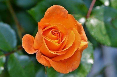 Как подкармливать розы