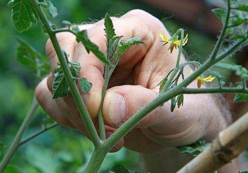 пасынки помидоров